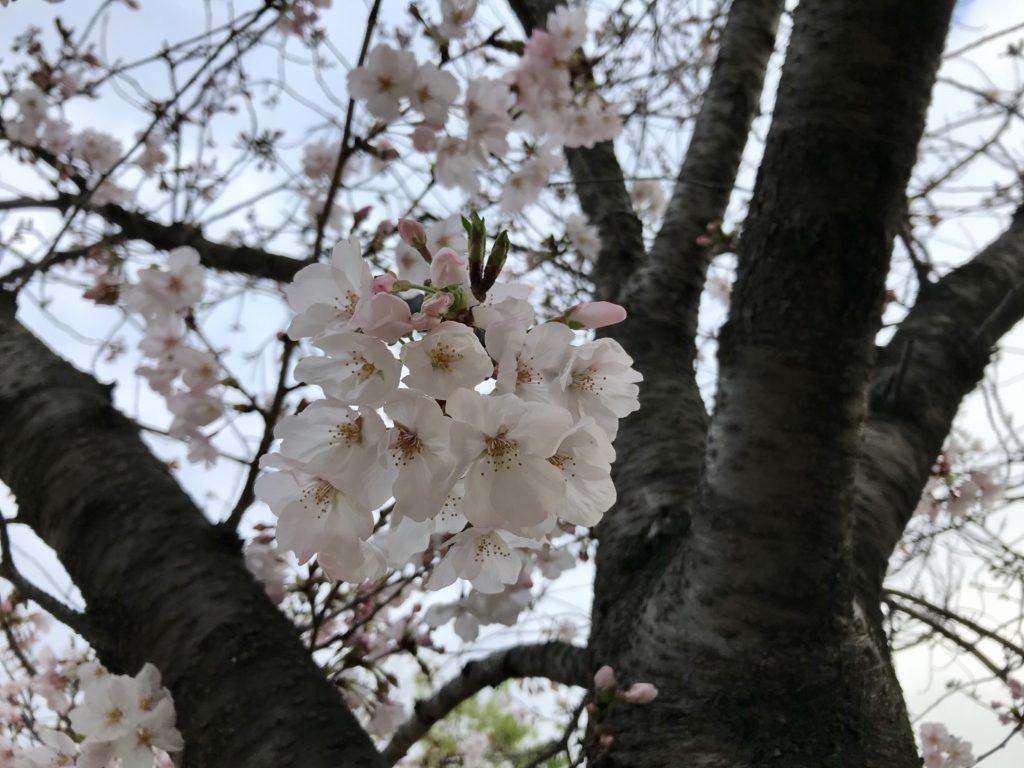 2020年の桜花見自粛とリハビリ折り紙手芸